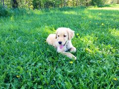 Golden retriever puppy #daisy