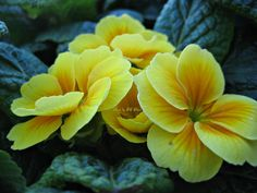 Lincoln- yellow primrose