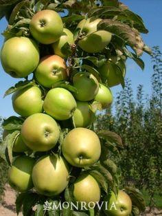 Columnar Apples: Scarlett Sentinel, Golden Sentinel &/or Northpole for pollination