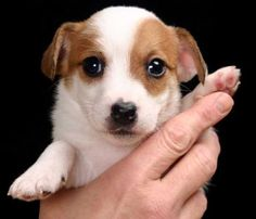 Sheila - adorable Jack Russell pup!