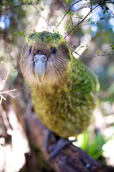 New Zealand: Earth's Mythical Islands - in pictures Sirocco is a kakapo, a large nocturnal parrot Beautiful Birds, Animals Beautiful, Cute Animals, Exotic Birds, Colorful Birds, Kakapo Parrot, Bird Barn, Barn Owls, Funny Parrots