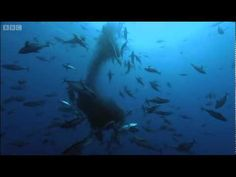Off the coast of Venezuela, we encounter the whale shark - the biggest of all the fish in the ocean. In this clip, a shoal of bait fish are using the whale shark as a protective shield. However, unexpected developments are about to take place when we encounter some yellow-finned tuna