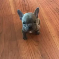 Pitbull puppy sweet barking and sound that will make you happy. Pitbull puppy sweet barking and sound that will make you happy. Cute Pitbull Puppies, Cute Puppy Breeds, Cute Dogs And Puppies, Cutest Dogs, Big Dogs, Small Dogs, Cute Pitbulls, Puppy Pitbulls, Doggies