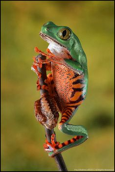 Tiger-legged Tree Frog by AnimalExplorer. Tigerleg Tree Frogs are green frogs with orange and black stripes on their legs, hence their name. They grow from 2 ½-3 inches in length, with females being slightly larger. These frogs can live from 10-13 years if taken care of properly.