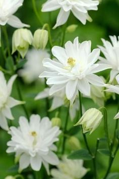 Aquilegia 'Munstead White' - Columbine - perennial, will not flower until next year #flower #flowers #garden