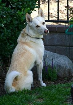 Caanna dog phot | articles dogs canaan dog