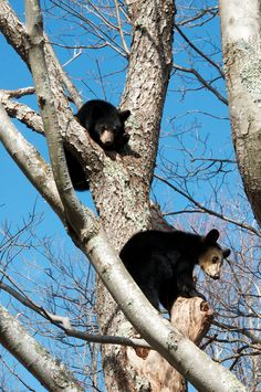 Black bear cubs, Canaan Valley WV