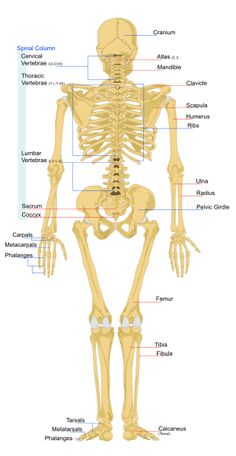 18 best school images on pinterest the human body human anatomy bones posterior view ccuart Image collections