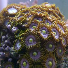 Zoa - 120+ heads mauve with yellow centre and green lashes