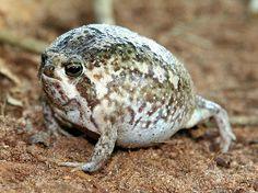 21 Best Desert Rain Frog Images Frog Toad Frogs Reptiles