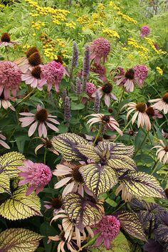 Coleus and Echinacea: nice combination. (coleus are not perennials) Exotic Plants, Green Plants, Dream Garden, Garden Art, Garden Cottage, Garden Painting, Garden Pool, Tropical Garden, Garden Tips