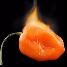 Vegetable seeds Habanero Orange Chilli Pepper Plant - 100 pcs Seeds- Extremely Hot !(China (Mainland))