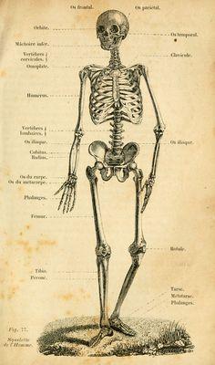 dessins scolaires zoologie - Dessins scolaires zoologie 199 squelette de l Homme - Gravures, illustrations, dessins, images