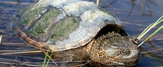 Endangered yet hunted:  On the road to extinction: Experts sound the alarm about snapping turtles.