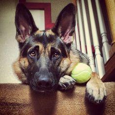 Beautiful German shepherd dog. He's called Lambeau