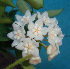 Hoya thomsonii Cutting SRQ 3064 [3064x] - $16.00 : Buy Hoya Plants Online in Many Species from SRQ Hoyas Today!