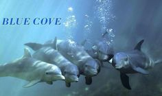 @CoveGuardians Fabulous #BLUECOVEDAY. The Dolphins are SAFE. #OpHenkaku #tweet4taiji
