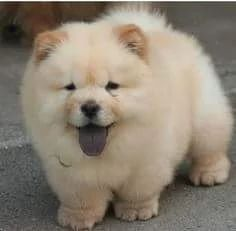 Buy A Healthy Chow Chow Pup in South West Delhi, Delhi, India in Pet Animals And Accessories category under budget INR ₹ Fluffy Dogs, Fluffy Animals, Cute Baby Animals, Perros Chow Chow, Chow Chow Dogs, Puppy Chow, Beautiful Dogs, Animals Beautiful, Cute Dogs And Puppies