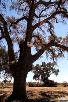One of the many oaks from which the vineyards take their name at Oak Farms, Lodi.