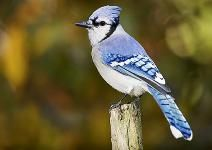 Why Are Some Feathers Blue?   The answer is fascinating.