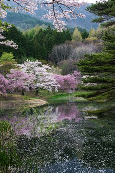 This is spring of Japan. Clear pink cherry blossoms are blooming in the mountains of Japan. Cherry blossoms reflected on the surface of the water are more beautiful. Spring is the season when I think that I am glad that I was born in Japan.