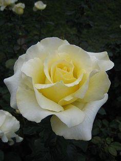 ~'Elina' Hybrid Tea Rose #Hybridtearoses Strange Flowers, Rare Flowers, Exotic Flowers, Pretty Flowers, Purple Flowers, Yellow Roses, White Roses, Pink Roses, Beautiful Roses