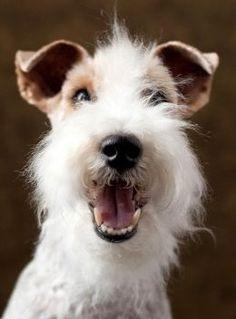 Fox Terriers Puppy Dog