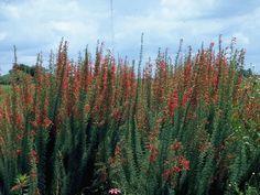 Ipomopsis rubra (Standing cypress) #10475