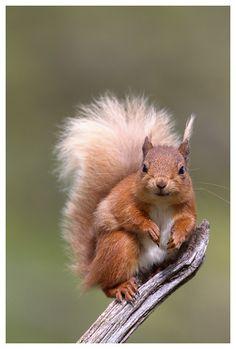 Red Squirrel by Pete Walkden, via Flickr