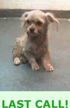 SAFE ---ABBIE (A1687860)I am a female gray and white Terrier.  The shelter staff think I am about 10 months old and I weigh 5 pounds.  I was found as a stray and I may be available for adoption on 03/30/2015. —  Miami Dade County Animal Services. https://www.facebook.com/urgentdogsofmiami/photos/pb.191859757515102.-2207520000.1427311829./950358351665235/?type=3&theater