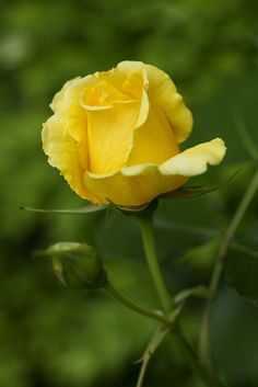 Yellow Rose By Anna Calvert Photography