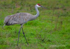 Sandhill Cranes can be spotted on the West End of Galveston island. Learn more about these fascinating animals here http://on.natgeo.com/aySq2x #Nature