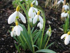 Galanthus primrose 'Warburg' - snowdrops