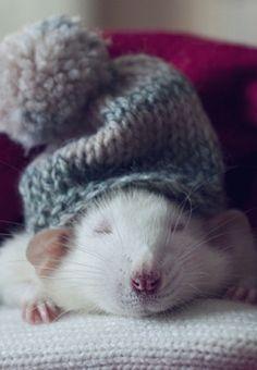 Pet rat snoozing with his little wool hat -aaaaaahhhhhhahahaaaa