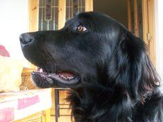 Benson Jutton - a two year old Black Labrador x Golden Retriever mix