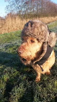 Scooby, basset Fauve de Bretagne heeft warme oren