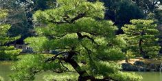 Pine Tree Wallpapers And Pictures For Desktop pine tree bonzai – Pictures Google | Google Images | Picasa Web Album