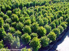 Boj enano, ideal para setos bajos. http://www.plantamus.es/ARBOLES-ARBUSTOS