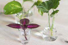 Hvordan: En guide til hvordan ta avleggere eller stiklinger av større inneplanter.