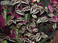 Brilliant purple Wandering Jew close-up... A veterinarians advice was to not let dogs get into this plant.