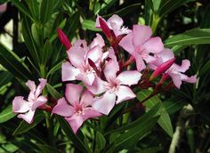 THE Oleander. This bush pops up in parks, schools and back yards all over the country, especially in the southern and western regions of the U.S. And while it might be nice to look at, don't go chewing on any part of it — its leaves, flowers and fruit all contain chemicals known as as cardiac glycosides, which, while therapeutic in precise doses, can put you into cardiac arrest if ingested unsystematically.