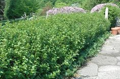 Green Mound Alpine Current. 3' H x 2' W. Shade to full sun. Drought tolerant. Adaptable to both dry and moist locations. Zone 2.
