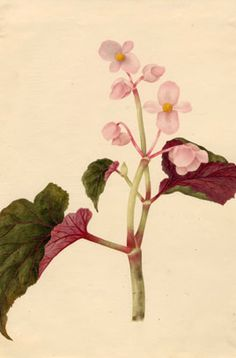 Find help & information on Begonia Semperflorens Cultorum Group (S) wax plant from the RHS Summer Bedding Plants, Hardy Plants, Begonia, Garden Planning, Wax, Gardening, Seasons, Group, Future