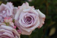 rosa di Vanzo Floreale 2014