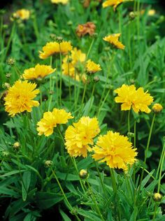 Yellow Flowers and Foliage for the Garden : Outdoors : Home & Garden Television