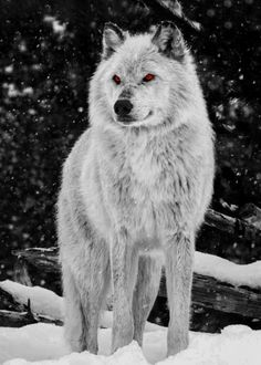 Wolf Amber Eyes detailed, premium quality, magnet mounted prints on metal designed by talented artists. Wolf Images, Wolf Photos, Wolf Pictures, Wolf With Red Eyes, Wolf Eyes, Alpha Wolf, Alpha Female Wolf, Wolf Photography, Wolf Artwork