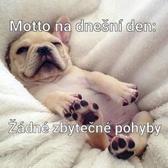 Motto, French Bulldog, Animals, Animales, Animaux, French Bulldog Shedding, Bulldog Frances, Animal, Animais