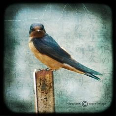 Bird Blue Photograph--Blue Bird with Attitude--Fine Art (£8.84) ❤ liked on Polyvore featuring home, home decor, wall art, bird wall art, bird home decor, blue home decor, blue bird wall art and blue wall art