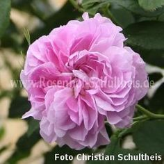 Blush Damask - Rosa - Rosa_damascena - Historische_Rosen - Rosen - Rosen von Schultheis