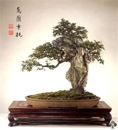 Galeria Penjing Chineses - Bonsai Empire